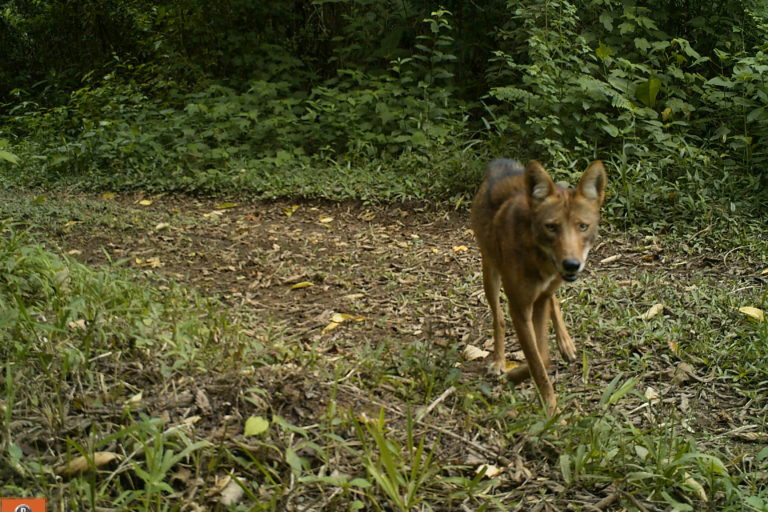 Coyotes en América. El coyote es omnívoro. Foto: José Fernando González-Maya.