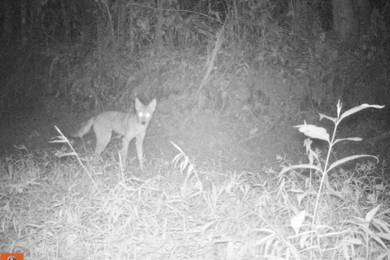 Coyotes en América. Coyote captado en cámara trampa nocturna. Foto: José Fernando González-Maya.