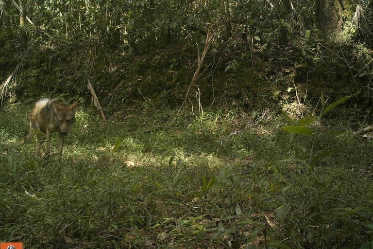 Coyotes en América. El coyote es una especie generalista y oportunista. Foto: José Fernando González-Maya.