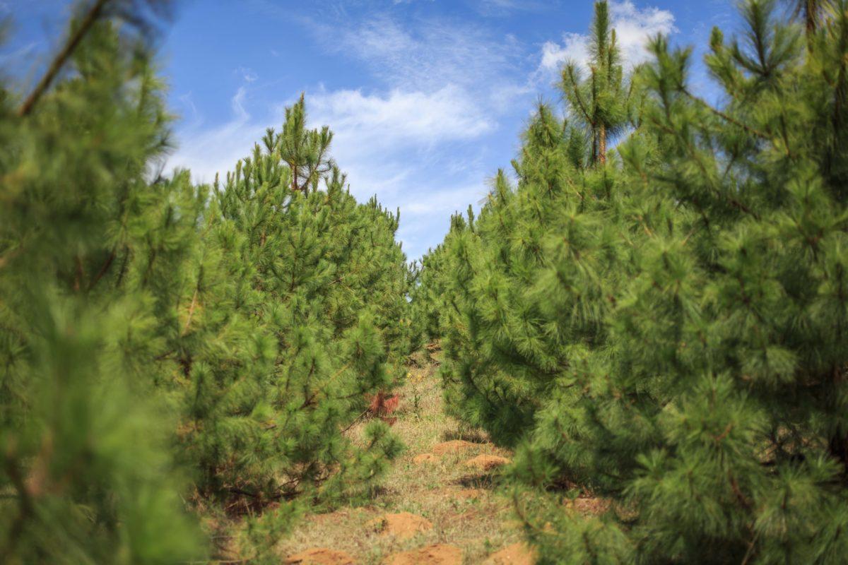 Resineros en bosques mexicanos