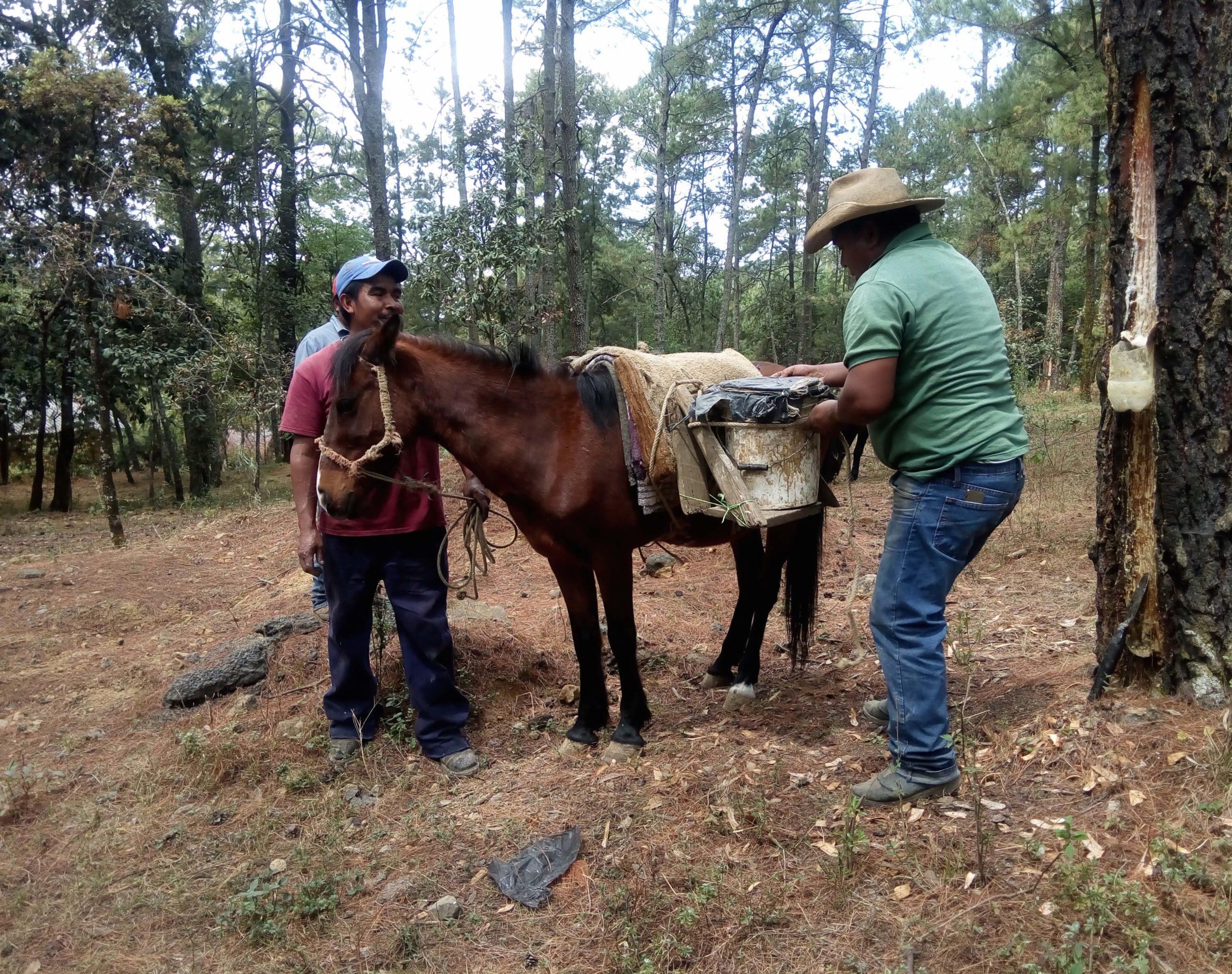 Resineros en los bosques de Michoacán