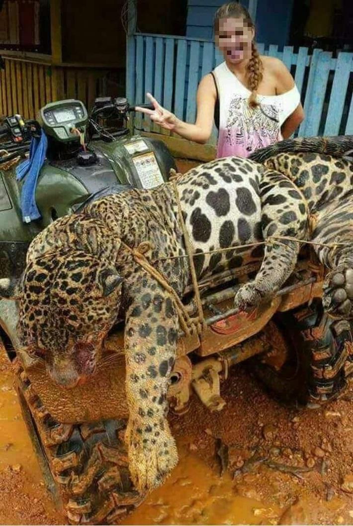 jaguares surinam guyana