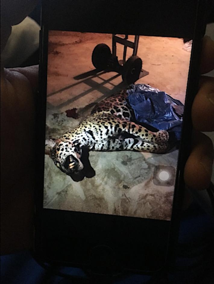 tráfico de jaguares