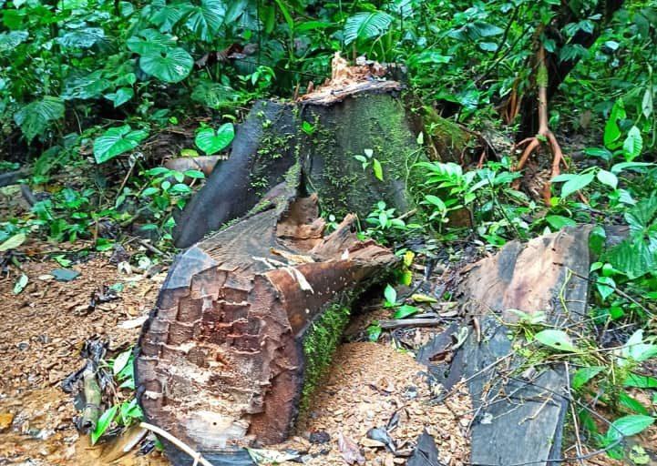 Tala ilegal en Ecuador. Signos de tala el Parque Nacional Cotacachi Cayapas. Foto: Cortesía.