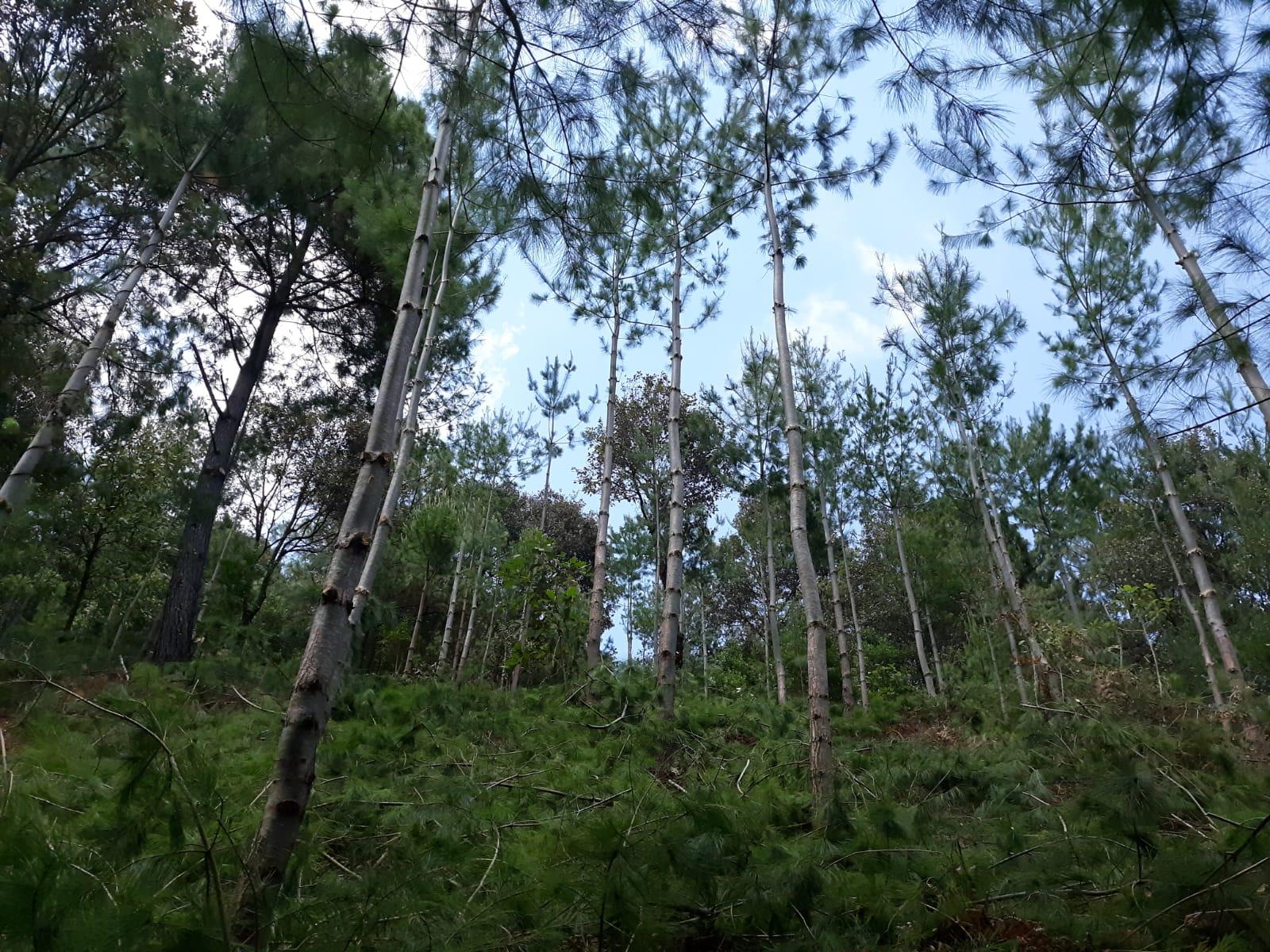 San Juan Lachao, Oaxaca-Manejo forestal