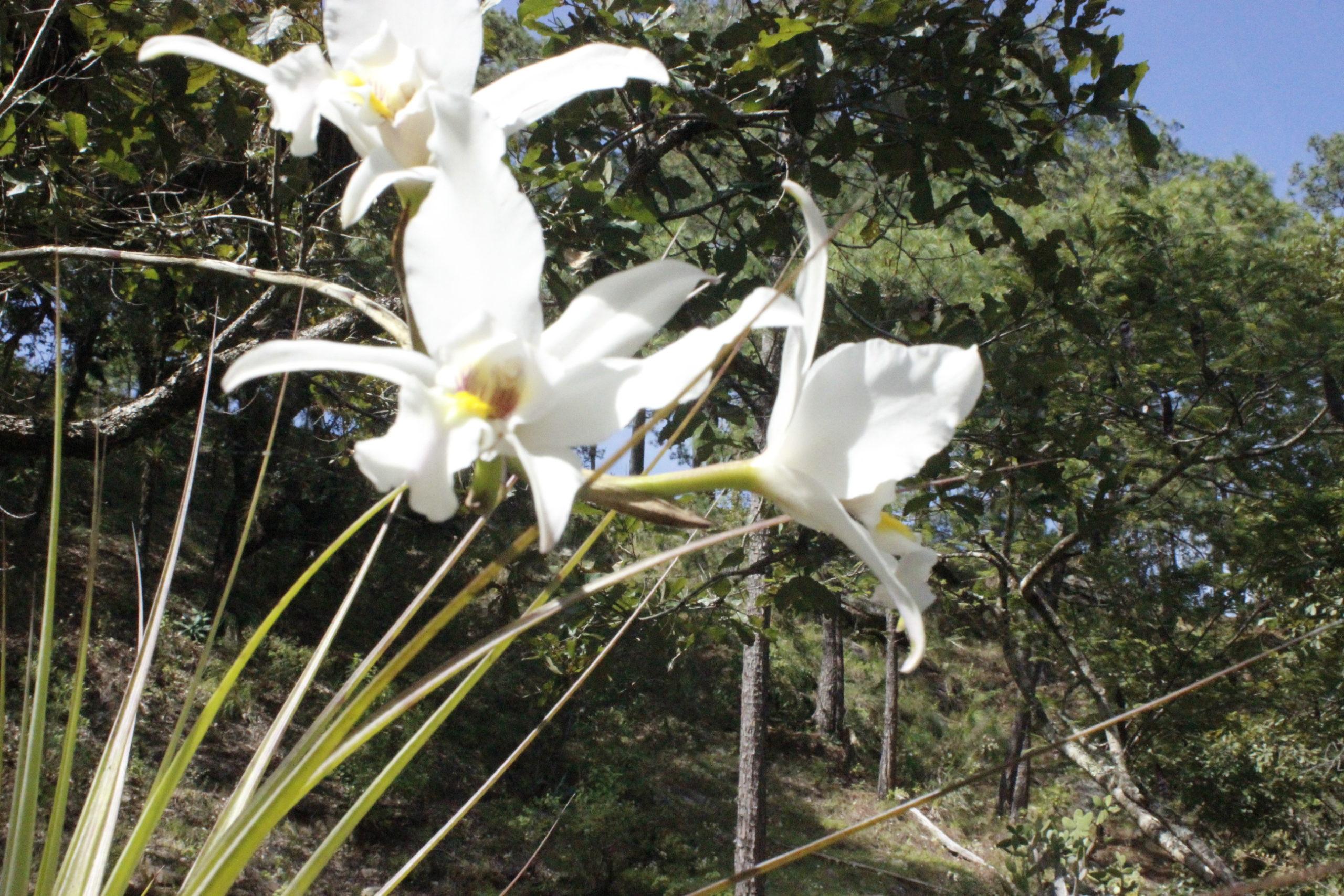 San Juan Lachao-Oaxaca-Manejo forestla