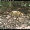 Jaguar (Panthera onca). Foto: Cámaras trampa WCS, Parque Nacional Natural El Tuparro.