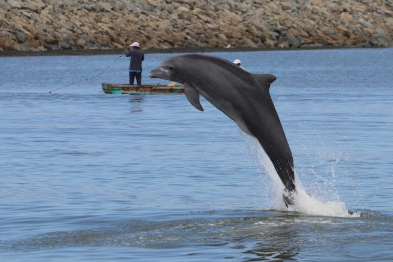 Delfines del Golfo de Guayaquil. Los delfines nariz de botella pueden vivir sesenta años, pero tienen una madurez sexual tardía y un período de crianza de alrededor de tres años. Fotografía de Fernando Félix.