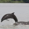 Delfines del Golfo de Guayaquil. Los delfines en Posorja podrían desaparecer en veinte años, y los delfines en El Morro, en sesenta si no se toman acciones ya. Fotografía de Fernando Félix.