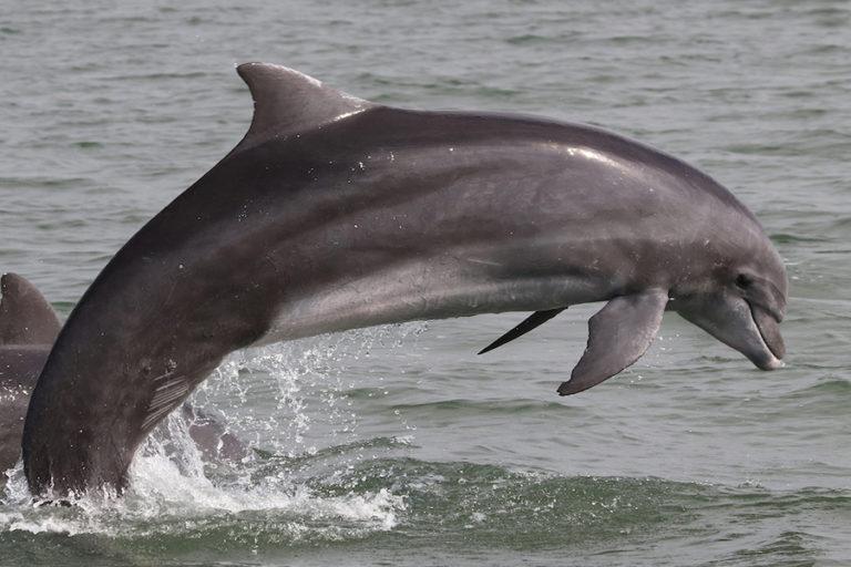 Delfines del Golfo de Guayaquil. Los investigadores llaman a la corresponsabilidad de otros actores locales, autoridades ambientales y ciudadanos a sumar esfuerzos para proteger a los últimos delfines. Fotografía de Fernando Félix.
