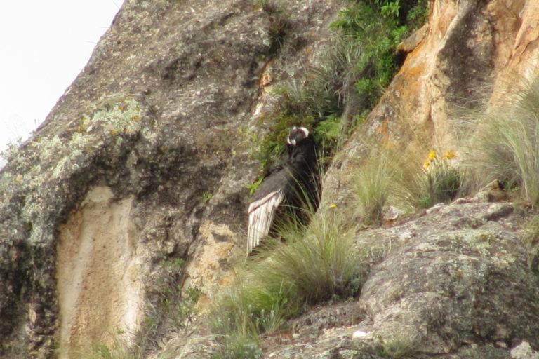 cóndor andino.