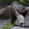 oso hormiguero chaco