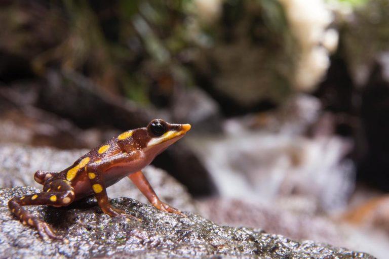 Ranas ganan a la minería. Íntag es el hogar de varias especies de ranas en peligro de extinción, la rana arlequín hocicuda es una de ellas. Fotografía de Gustavo Pazmiño.