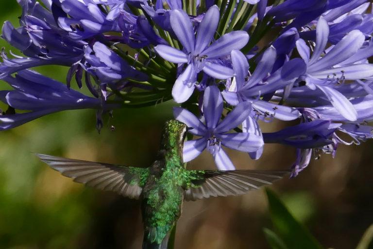 Ranas ganan a la minería. Con la aprobación de la acción de protección y medidas cautelares para proteger a Íntag, se puede cuidar a decenas de especies endémicas y salvar a otras que están en peligro. Fotografía de Carlos Zorrilla.
