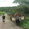 Búfalos de agua en los caminos de las plantaciones de la empresa de la palma aceitera Palpailon S.A., en San Lorenzo, Ecuador. Foto: Julianne A. Hazlewood.
