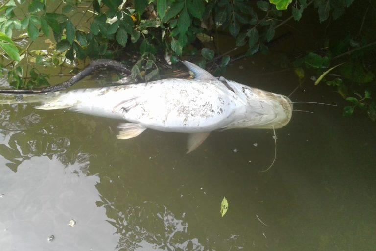 Los siekopai suelen encontrar peces muertos en las aguas de sus ríos. Foto: Nacionalidad siekopai.