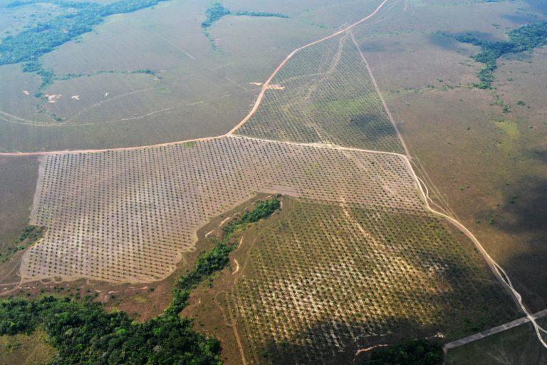 Palma ilegal en el departamento de Guaviare. Foto: Fundación para la Conservación y el Desarrollo Sostenible (FCDS).