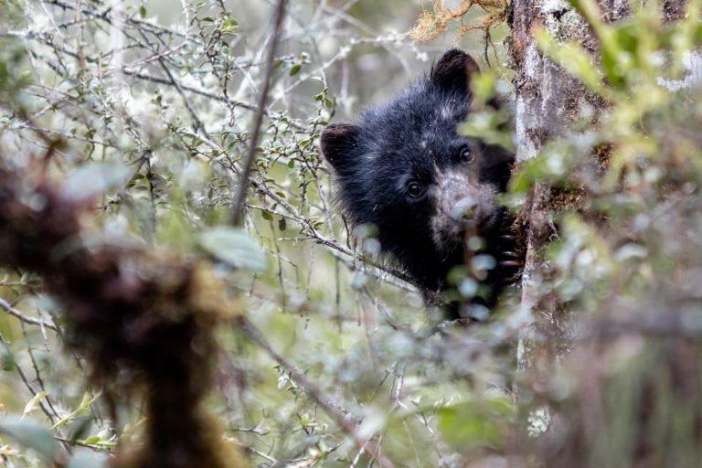 En el parque Chingaza está uno de los mejores estudios de monitoreo de oso de anteojos en el país. Foto: Parques Nacionales Naturales de Colombia.