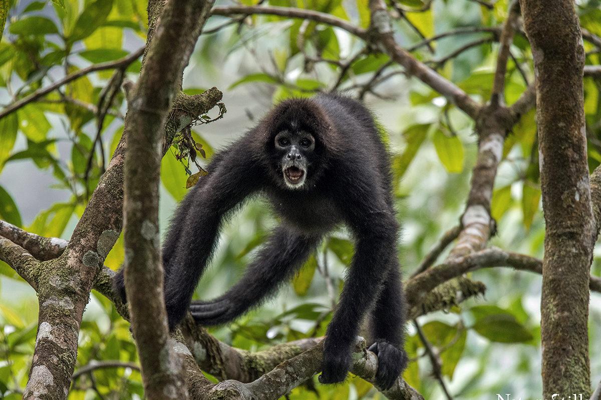 Mono araña de cabeza café. Especie En Peligro Crítico en Ecuador y endémica del Chocó biogeográfico. Foto: © Scott Trageser.