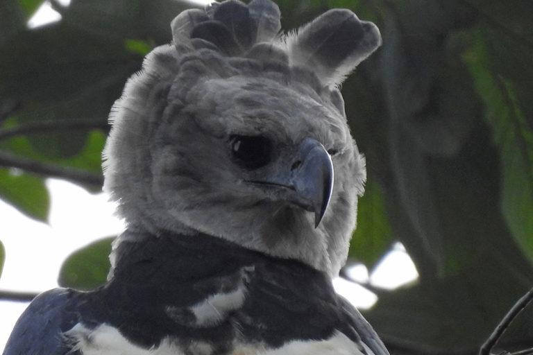 En las reservas Canandé y Tesoro Escondido de la Fundación Jocotoco se registra el único nido de águila harpía del oeste de Ecuador. Foto: Michael Moens.