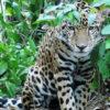 En el Chocó ecuatoriano solo quedan 40 jaguares. Foto: F. Sornoza.