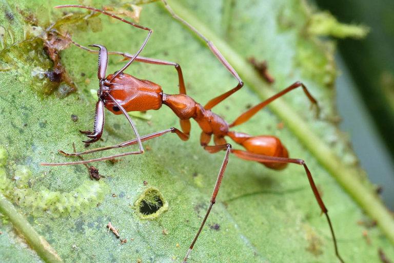 Odontomachus davisoni, nueva especie de hormiga descrita en el Chocó ecuatoriano en julio de 2020. Foto: Philipp Hönle, PS.