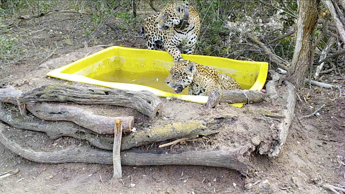 qaramta y tania jaguares