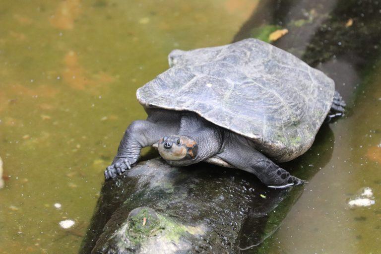 Tortuga en la Reserva de Producción de Fauna Cuyabeno. Foto: Ministerio del Ambiente y Agua de Ecuador.