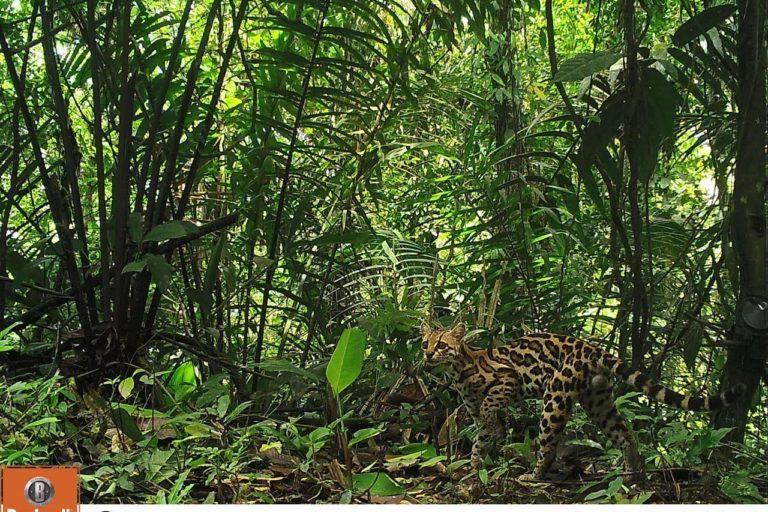 Jaguares melánicos en Panamá