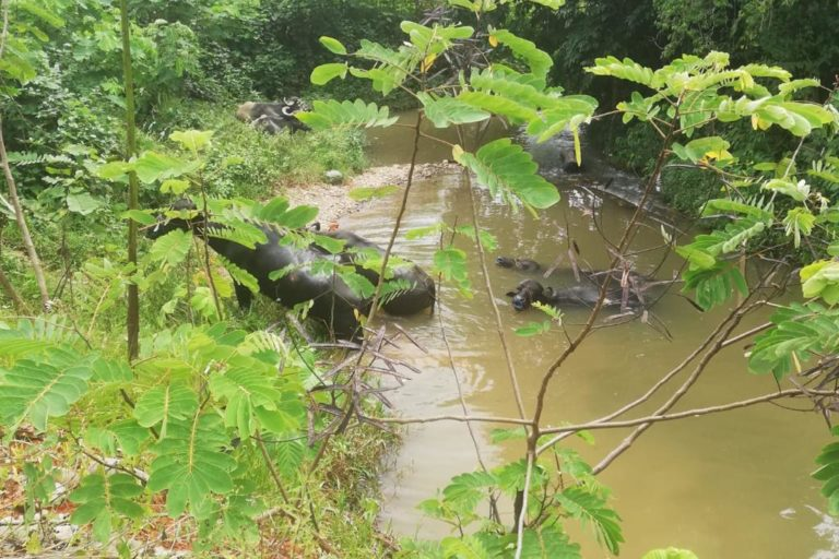 Búfalos de la palmicultora se bañan en el río que abastece a la comunidad. Fotografía de la Comuna de Barranquilla.
