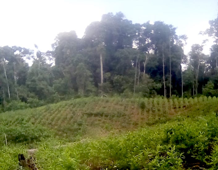 Coca plantations spread out from the edges of the native community of Santa Martha. The situation has worsened during the pandemic. Photo courtesy of members of the community of Santa Martha.