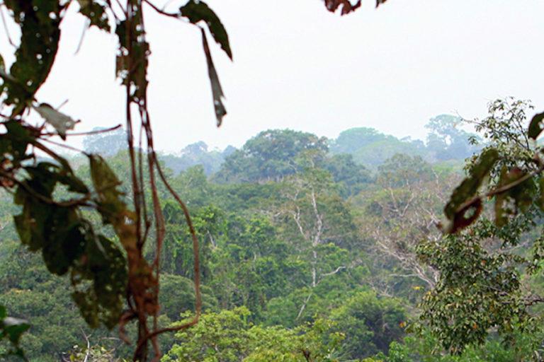 Los cedros son árboles de dosel, es decir, actúan como una especie de paraguas que protege a otras especies vegetales y animales. Foto: Jeremy Hance y Tiffany Roufs.