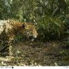 Jaguar en cámara trampa. Foto: ProCAT.