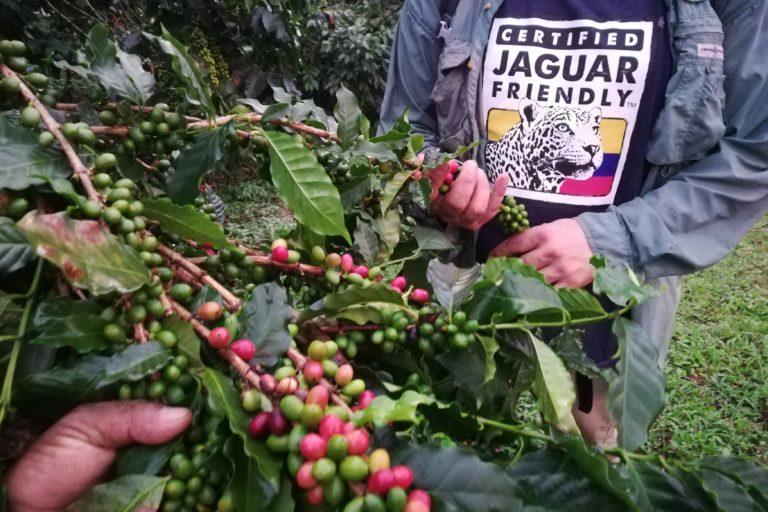 Las fincas Jaguar Friendly deben garantizar por lo menos la misma cantidad de hectáreas de café para estar dedicadas a conservación. Foto: ProCAT.