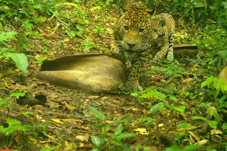 Jaguares en cámara trampa. Foto: ProCAT.