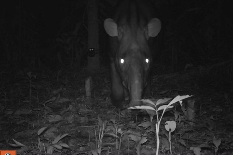 Danta o tapir en cámara trampa. Foto: ProCAT.