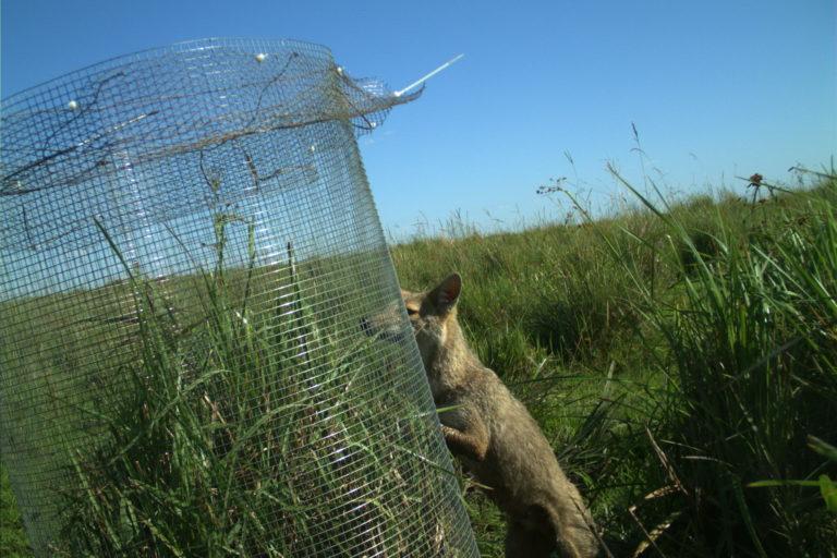 Zorro intentando acceder al nido. Foto: Proyecto Tordo Amarillo.