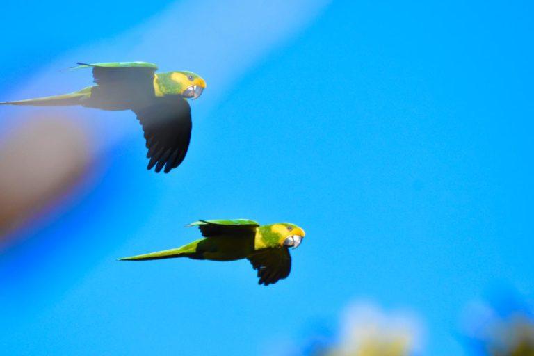 El loro orejiamarillo puede alcanzar la estatura de una guacamaya pequeña. Cortesía: Oswaldo Cortés.