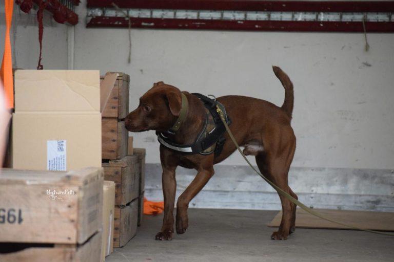 Boris está entrenado tanto para trabajar en aeropuertos y puertos como para ingresar a la selva a rastrear a cazadores. Foto: Scent Imprint for Dogs.
