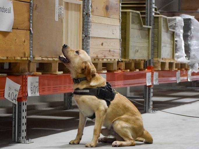 Bruce tiene ahora tres años, pero llegó a Scent Imprint for Dogs a las quince semanas de nacido. Foto: Scent Imprint for Dogs