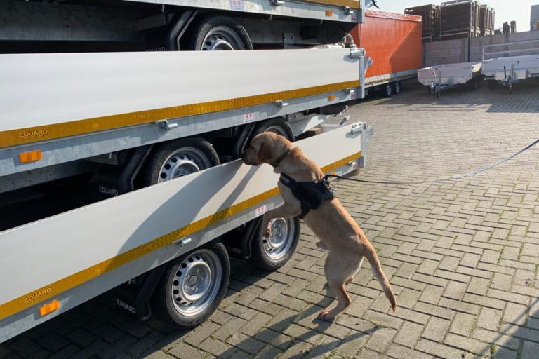 Bruce en uno de sus entrenamientos constantes para detectar vida silvestre. Foto: Scent Imprint for Dogs.