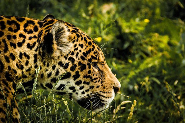 Según los estudios científicos, se estima que la población de jaguar en Bolivia se encuentre entre los 6 mil a 12 mil ejemplares. Foto: Pixabay.