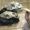 Las partes de jaguar que son traficadas son poco accesibles. Hay que pasar varios filtros de confianza para acceder a este tipo de evidencias. Foto: Earth League International (ELI)