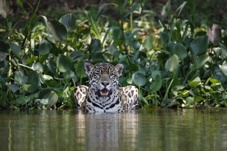 El jaguar es uno de los animales más importantes de la selva y regula la salud de este ecosistema. Foto: Patrick Meier.