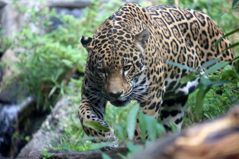 En Bolivia no se han registrado nuevas incautaciones de partes de jaguar desde enero del 2019. Esto significaría que las mafias han encontrado otras formas de tráfico. Foto: Unión Internacional para la Conservación de la Naturaleza de los Países Bajos (UICN NL).
