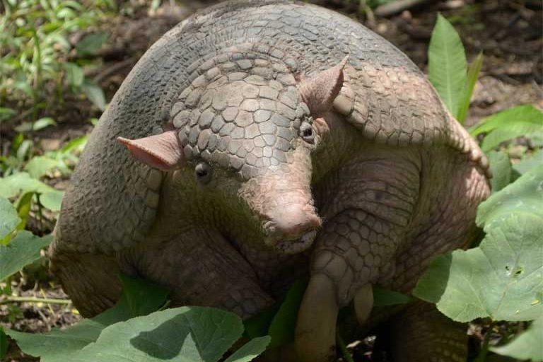 En el otro extremo del rango de tamaños está el armadillo gigante. Foto de Fernando Trujillo para UICN.