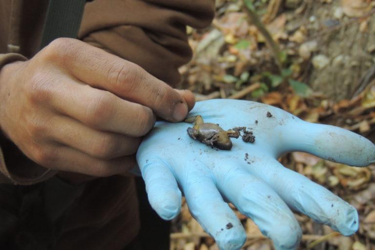 En el monitoreo de las ranas liberadas el 3 de noviembre de 2020, los investigadores del REVA encontraron ejemplares hembras ovadas, señal de que la reintroducción de la especie está siendo exitosa. Foto: María Fernanda Rodríguez.