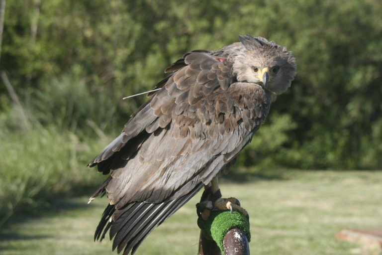 Belén, a female Chaco eagle that had been shot in the leg, during her rehabilitation at Buenos Aires Ecopark. She was later released in Catamarca province. Image by Andrés Capdevielle.