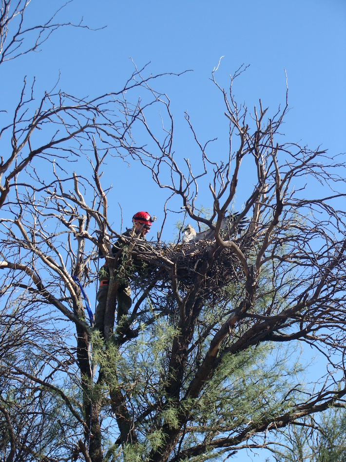 Andrés Capdevielle climbs a carob tree to place a band on a young Chaco eagle at Ñancuñán Biosphere Reserve. Image by Hugo Asensio.