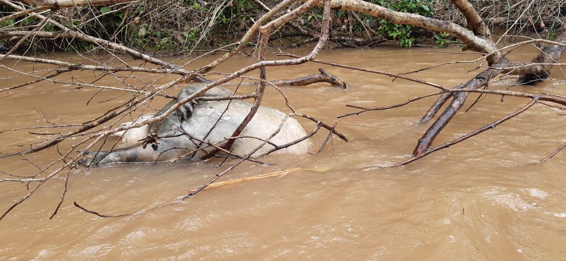 Por el derrame de petróleo murieron varios animales como dantas, boas , pecaríes y lagartos. Foto: Celso Moreta, Comunicación UDAPT.